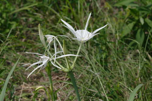 Hymenocallis occidentalis #6