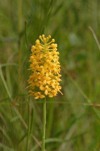 Platanthera integra #1