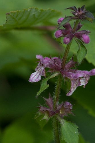 Stachys clingmanii #6