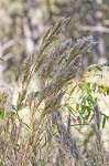Bushy bluestem