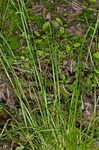 White edge sedge