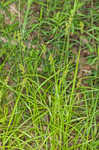 Blunt broom sedge