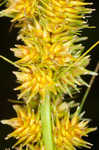 Fox sedge