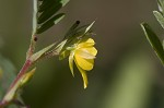 Sensitive partridge pea