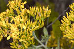 Woody goldenrod