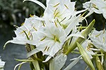 Shoal lily&nbsp;<BR>Cahaba lily
