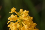Yellow fringless orchid