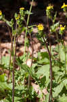 Oriental false hawksbeard
